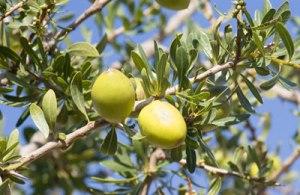 frutto-argania-spinosa