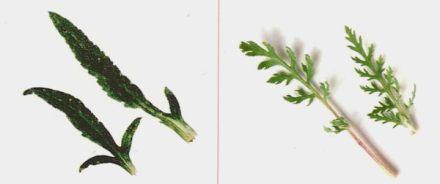 Feuilles-rhoeas-dubium