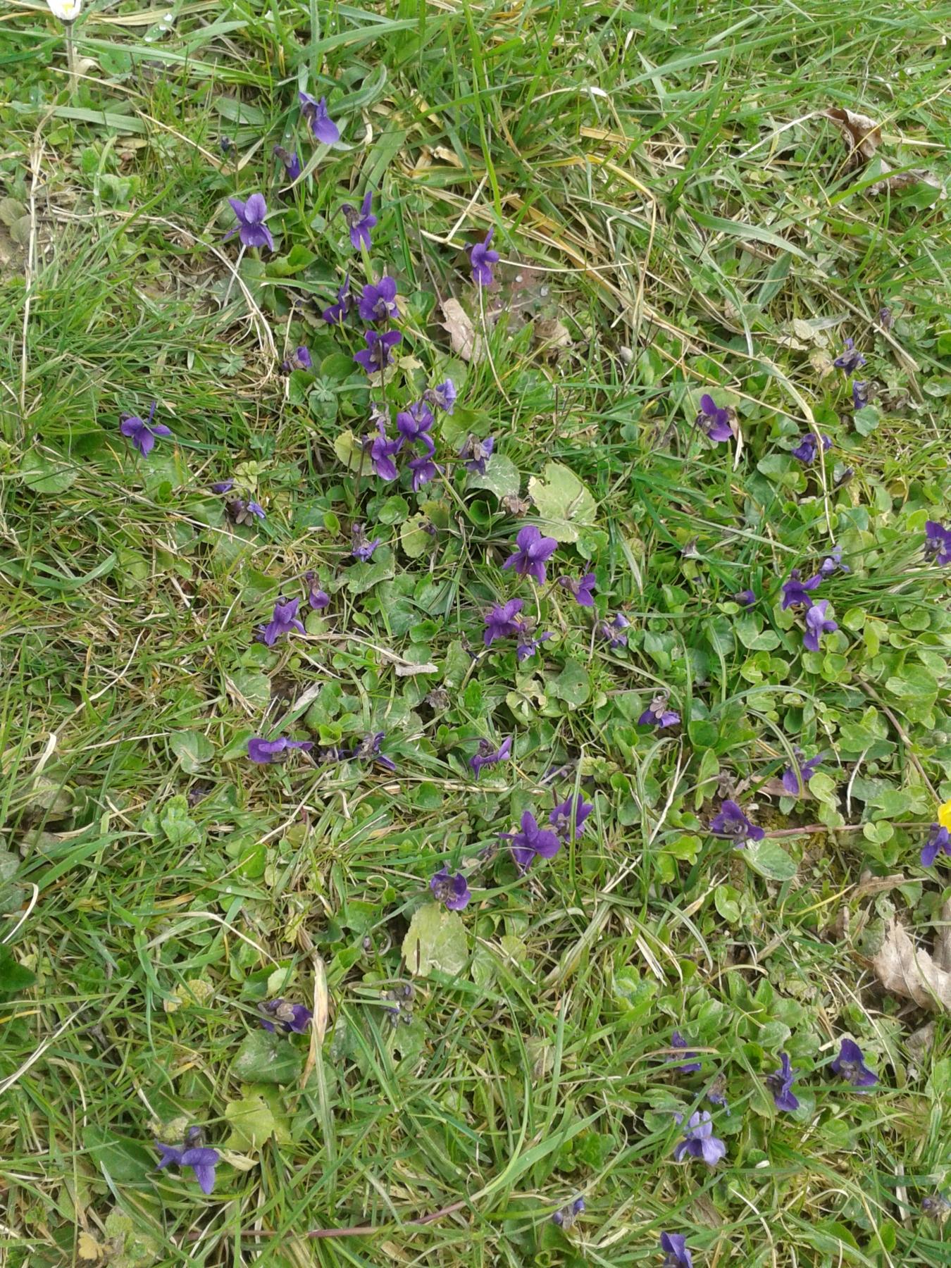 Une invit e du printemps la violette de mars books of - Image fleur violette ...