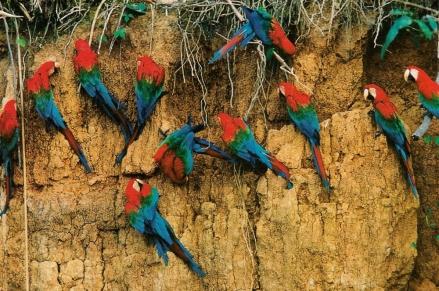 Perroquets_Pérou_argile