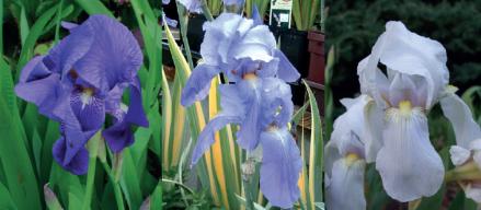 Iris_germanica_pallida_florentina