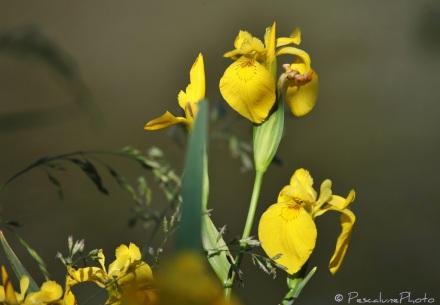 Iris des marais (Iris pseudacorus), Yellow Iris (3)