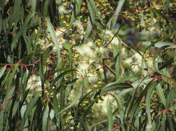 Eucalyptus citronné