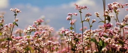 Sarrasin_en_fleurs