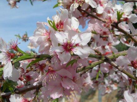 amandier_fleurs