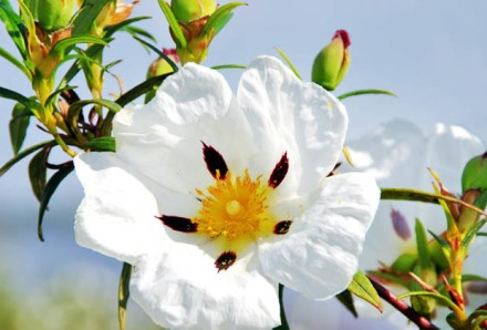 Ciste_fleur