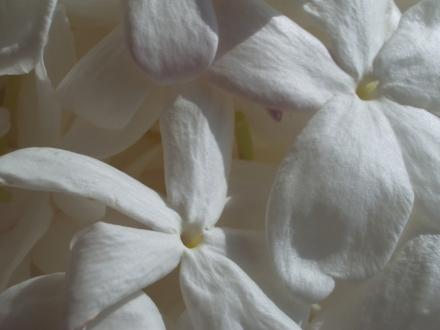 Jasmin_fleurs