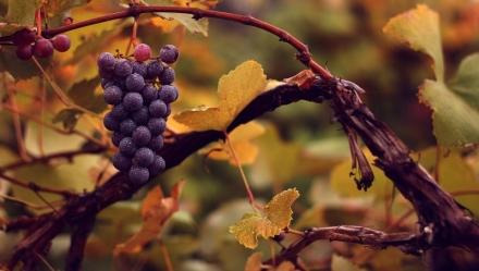 vigne_grappe