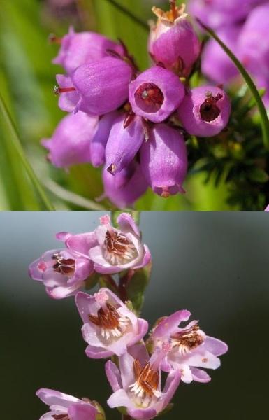 Sur ce double cliché, nous voyons en haut les fleurs de la bruyère et en bas celles de la callune. C'est en partie cela qui permet de les distinguer facilement.