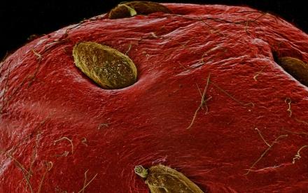 Sur ce cliché macro, nous voyons une fraise et les petites graines jaunâtres qui en ponctuent la surface.