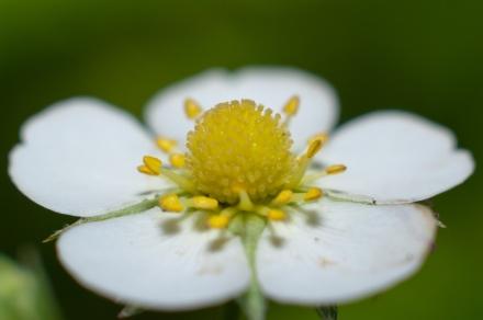 Fraisier_fleurs