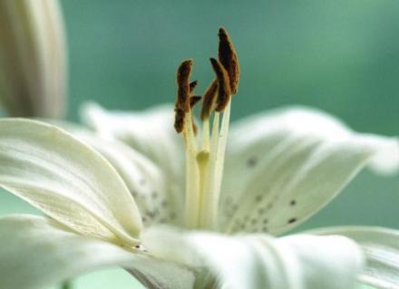 Lis_blanc_fleur