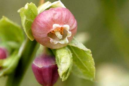 Myrtille_fleurs