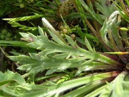 Plantain pied-de-corbeau (Plantago coronopus)