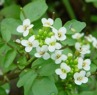 Cresson_fleurs