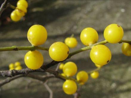 Gui jaune (Loranthus europaeus)