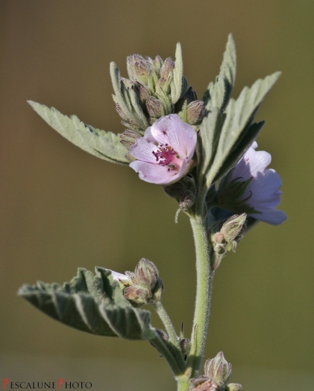 Guimauve (Althaea officinalis), Common MarshMallow (2)