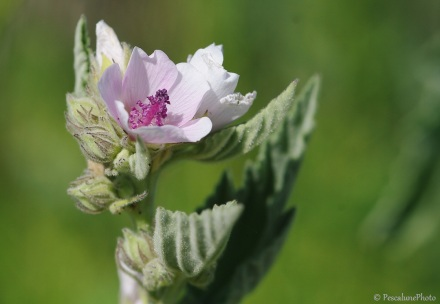 Guimauve, Althea Officinalis, Marshmallow, Camargue (2)