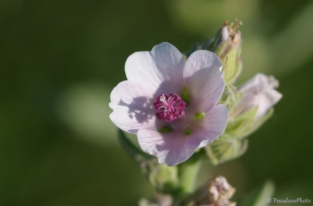 Guimauve, Althea Officinalis, Marshmallow, Camargue (4)