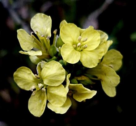 Moutarde_noire_fleurs