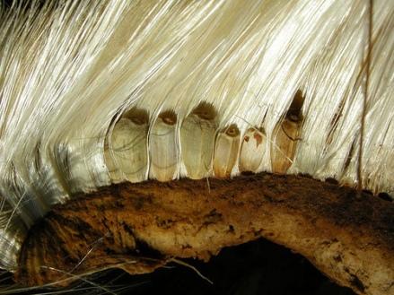 """Ce cliché montre un artichaut à un stade avancé de fructification. La partie brune, c'est le fond d'artichaut tapissé par le """"foin"""" composé d'une multitude d'aigrettes serrées les unes contre les autres, et au bout desquelles on trouve une petite graine (on en voit quelques unes sur cette image). Lorsque l'artichaut est bien sec, les aigrettes s'envolent comme celles du pissenlit, autre fameux médicament hépatique."""