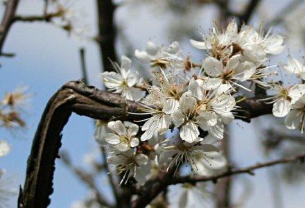 Prunellier_fleurs