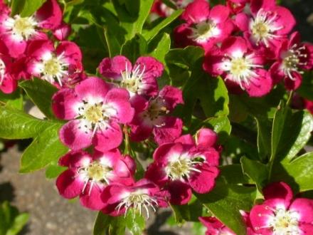 Aubépine ornementale, cultivar Crimson cloud