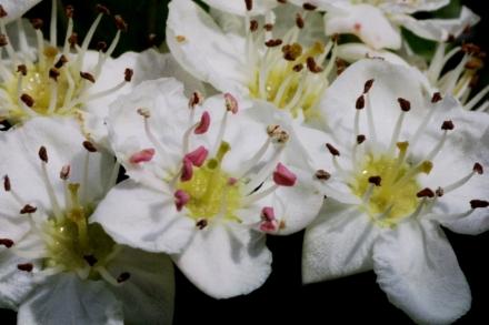 Aubépine_fleurs