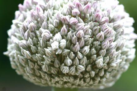 Poireau_fleurs_1