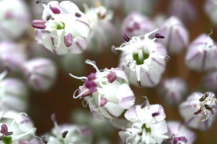 Poireau_fleurs_2