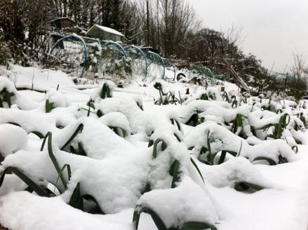 Très résistant au froid, le poireau supporte la neige comme nous pouvons le voir sur cette image