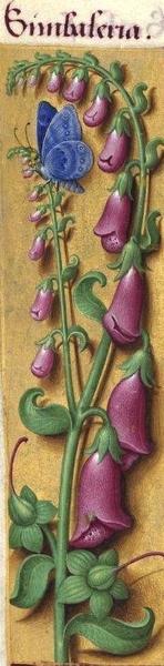 La digitale prend place au sein des Grandes Heures d'Anne de Bretagne sous le nom latin de Simbaleria (Daymoiselles en vieux français)