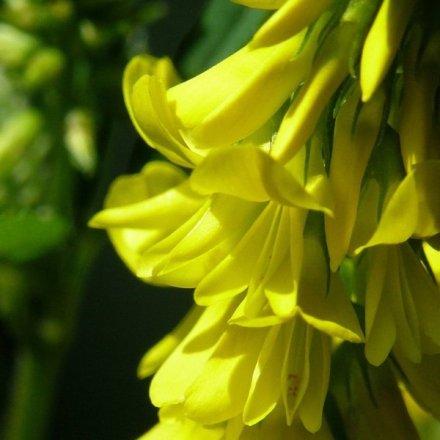 Mélilot_officinal_fleurs