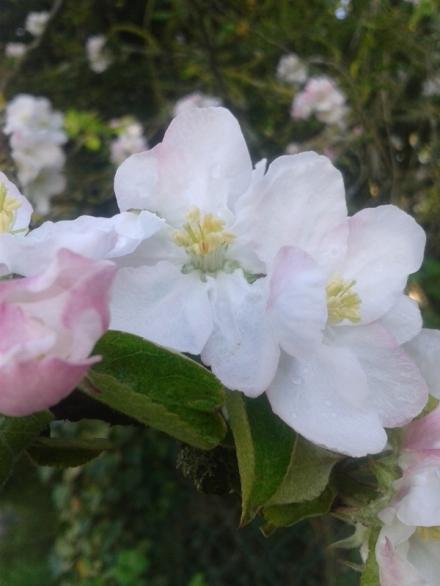 Pommier_fleurs