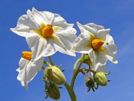 Pomme_de_terre_fleurs