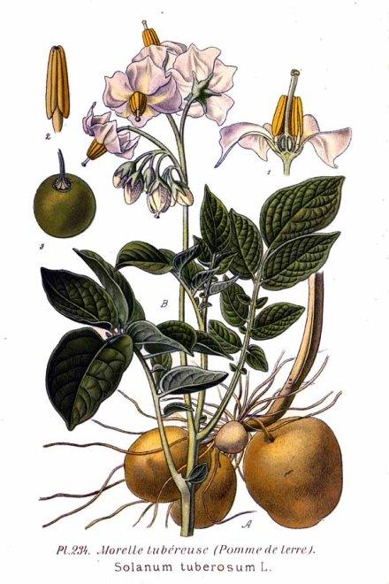 Celle que l'on appelle aussi morelle tubéreuse est une proche parente de la morelle noire : en effet ces deux plantes contiennent toutes deux de la solanine