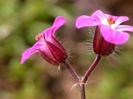 Géranium_robert_fleurs