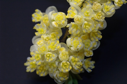 Litsée_fleurs