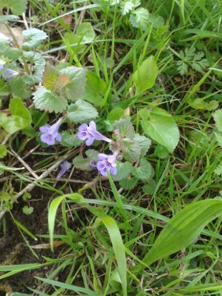 Lierre_terrestre_fleurs