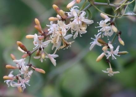 Salsepareille_fleurs