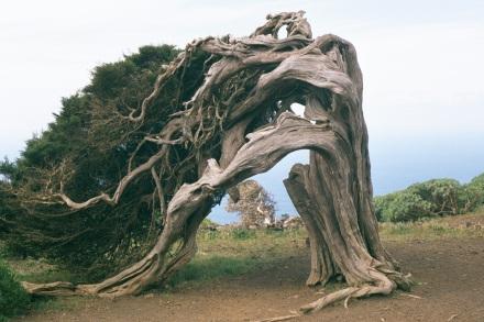 Cade_Juniperus_oxycedrus