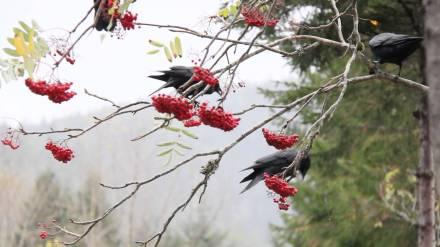 Sorbier_oiseaux