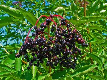 Les baies pendantes du sureau noir (Sambucus nigra)