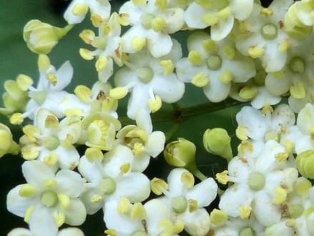 Sureau_noir_fleurs