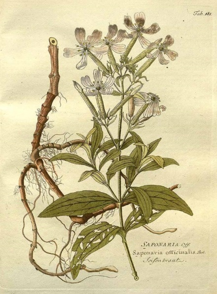 saponaire_officinale