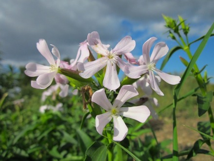 saponaire_officinale_fleurs