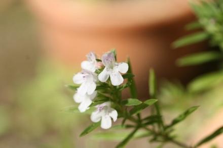 sarriette_fleurs