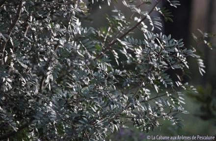 lentisque_feuilles