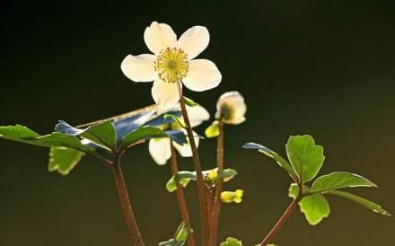 hellebore_noir_fleur