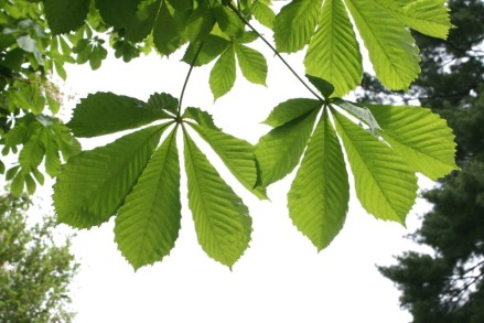 marronnier_feuilles